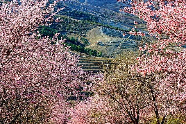 Passeio às Amendoeiras em Flor
